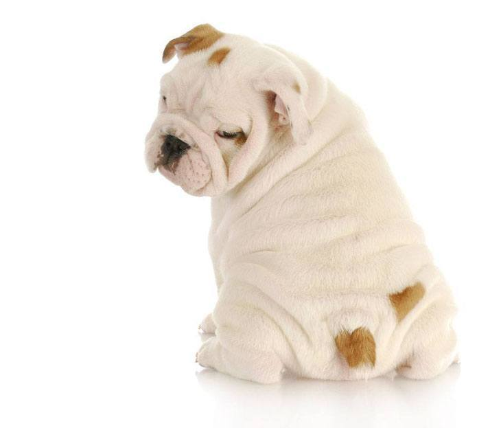Bulldog that's proud of it's cute bum