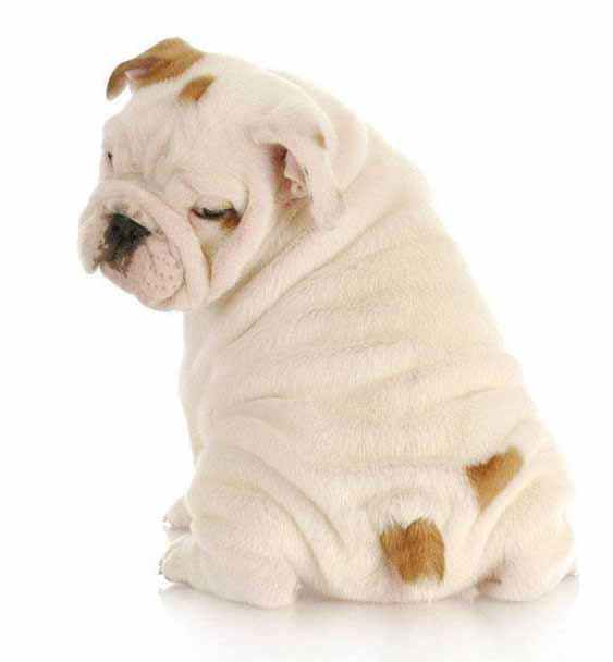 Cute Bulldog puppy bum