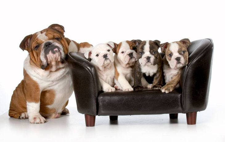 Happy Bulldog mama and her family