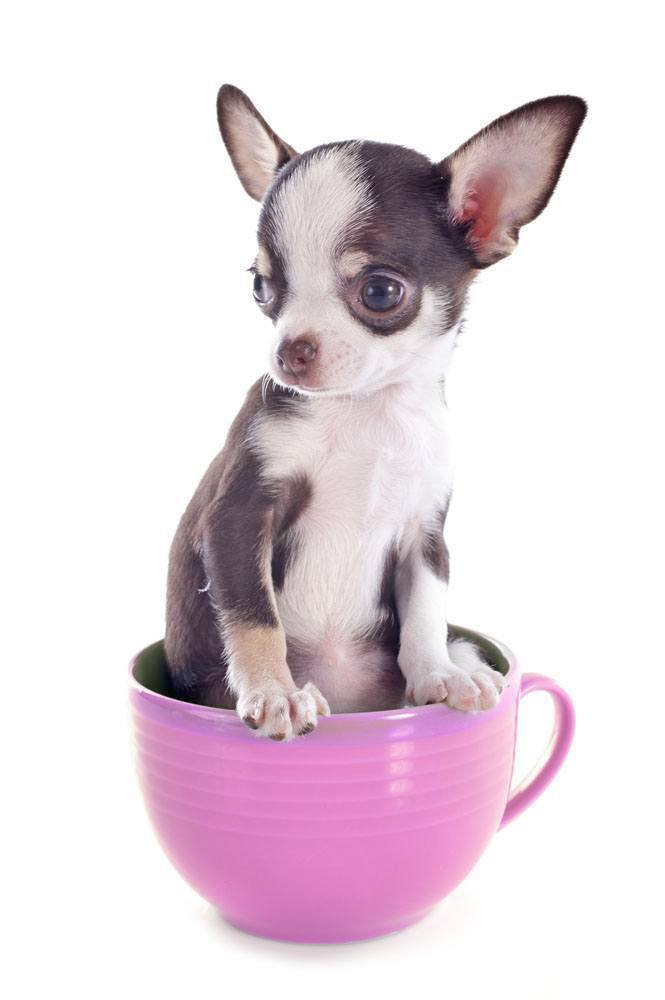 Teacup Chihuahua sitting in a teacup