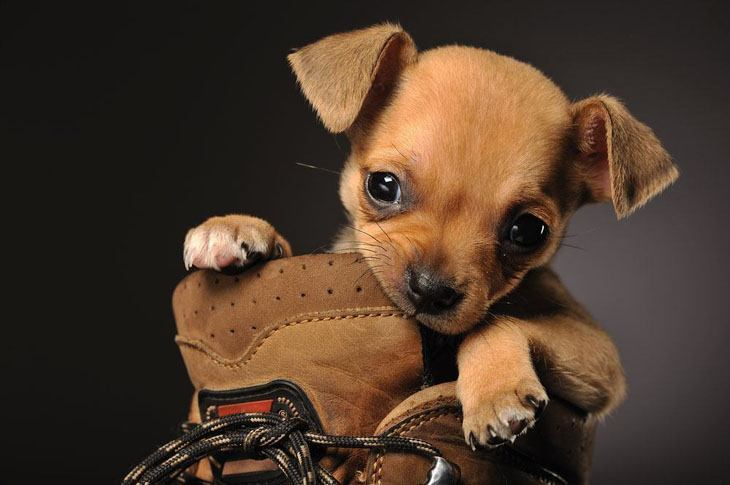 Chihuahua nibbling on shoe