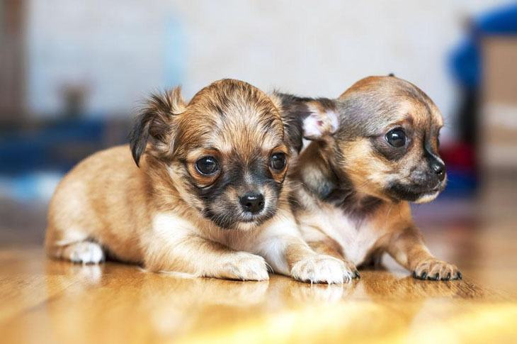 Chihuahua puppy brother and sister