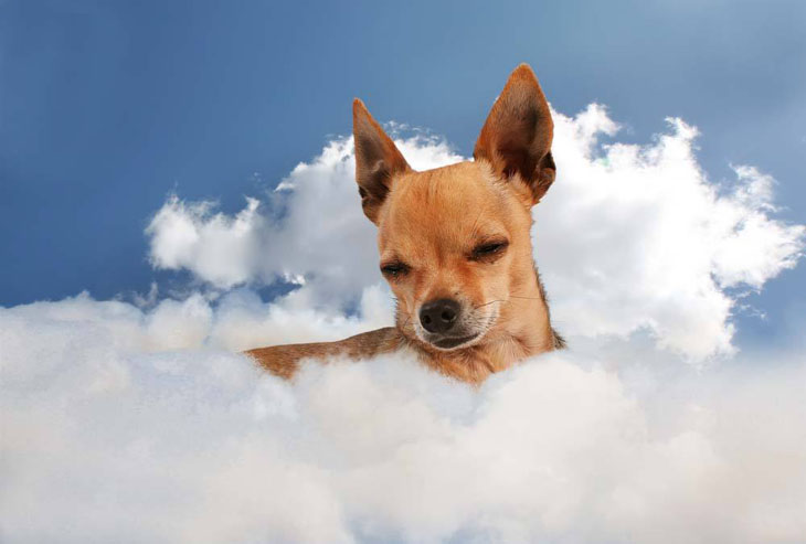 Chihuahua in heaven