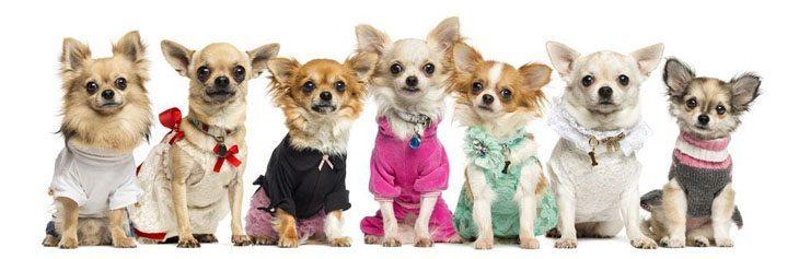 Chihuahua posse