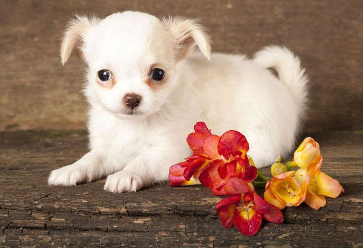 Chihuahua puppy posing for the camera
