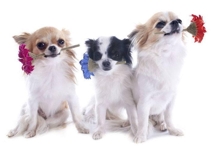 Three romantic Chihuahuas