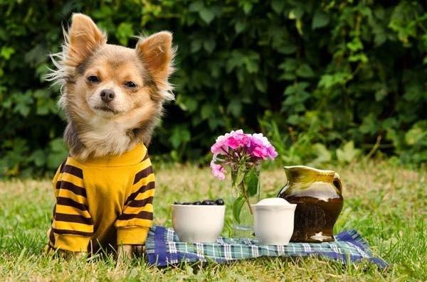 Chihuahua cutie enjoying a picnic