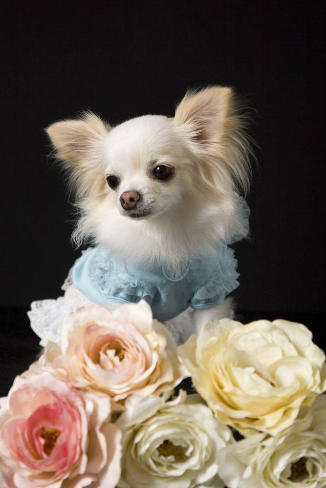 Chihuahua surrounded by flowers