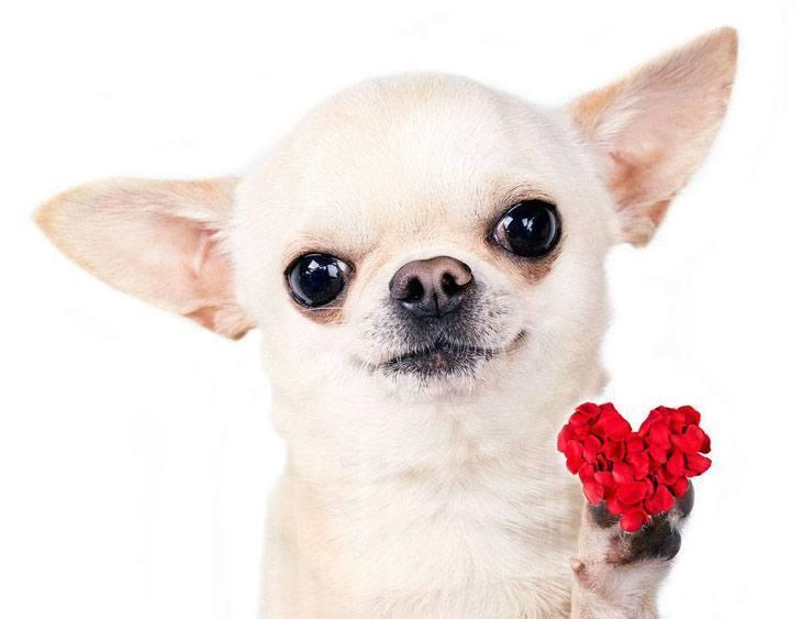 Chihuahua Romeo