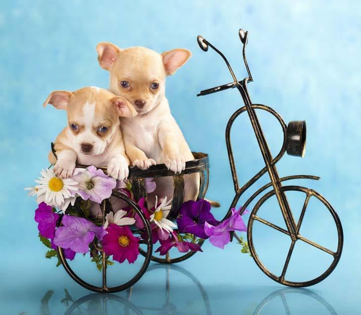 Chihuahua brother and sister out on a bike ride