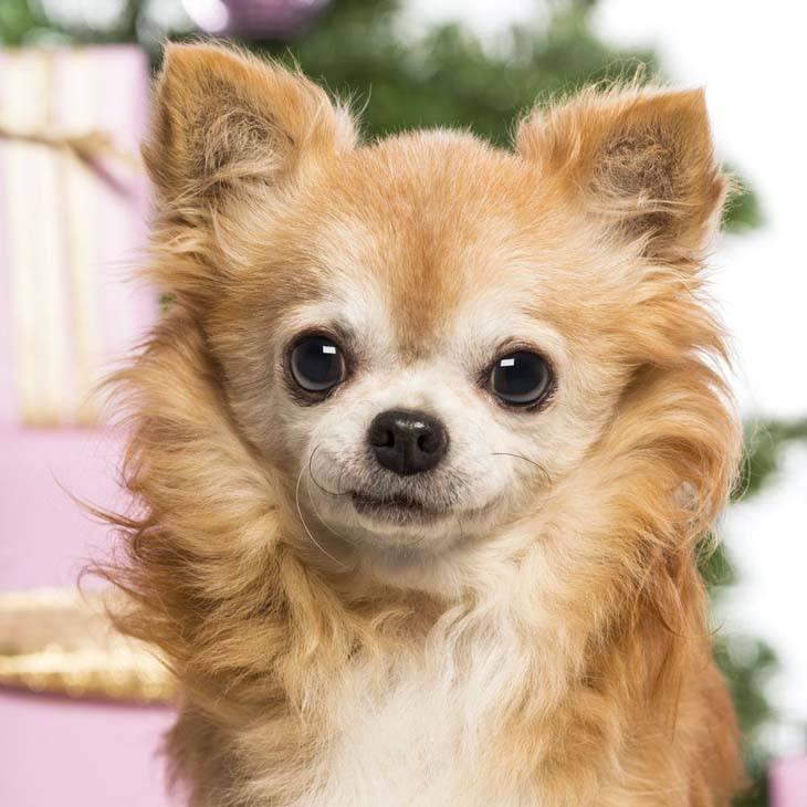 Long haired Chihuahua cutie pie