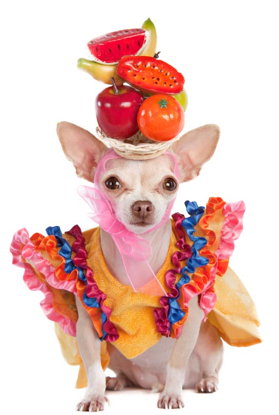Colorful Chihuahua