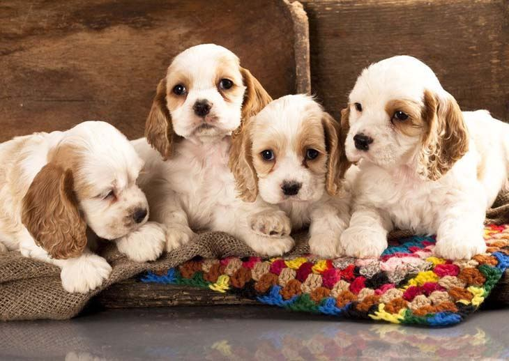 Cocker Spaniel brothers and sisters