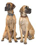 great dane pair