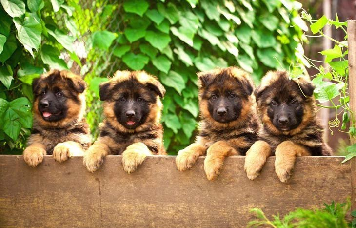 German Shepherd puppies ready to jump the fence