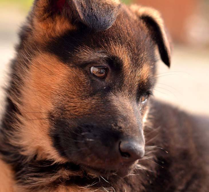 German Shepherd puppy cutie
