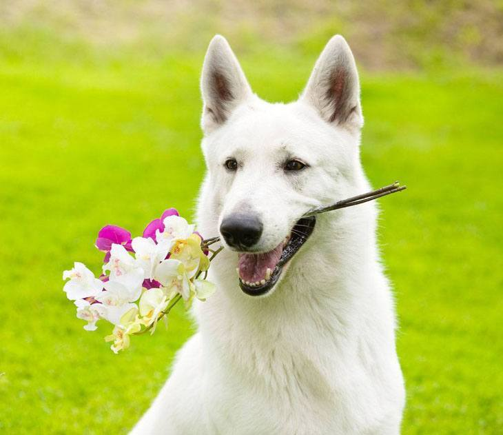 Beautiful white German Shepherd