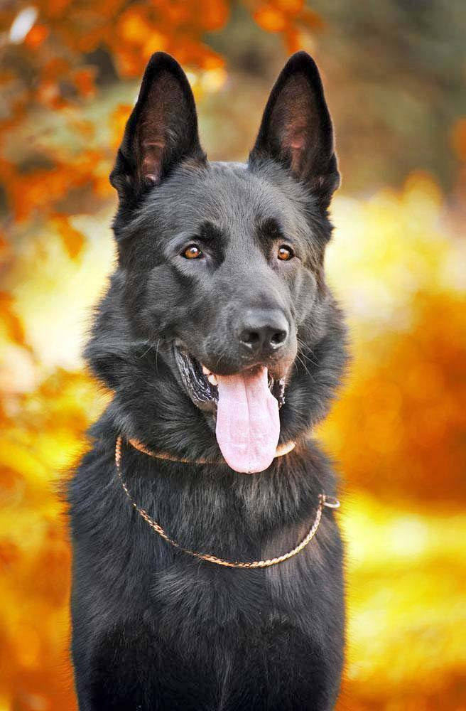 Beautiful black German Shepherd looking to find the perfect black dog name