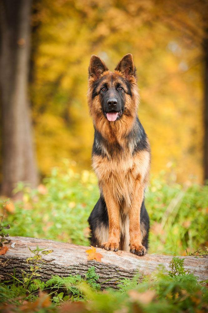 Beautiful German Shepherd striking a pose