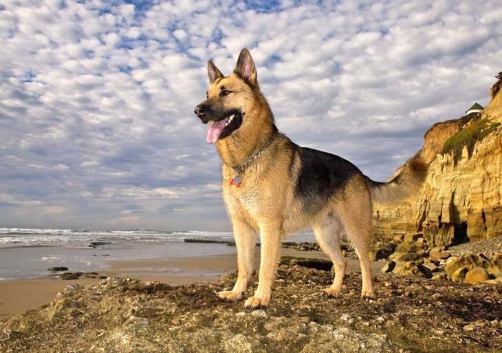 German shepherds love the beach