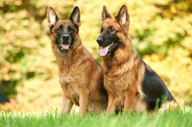 German Shepherd pals