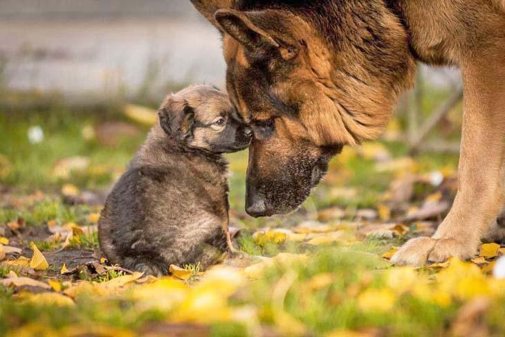 German Shepherd with her puppy