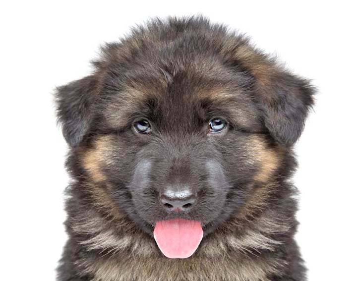 German Shepherd puppy looking cute
