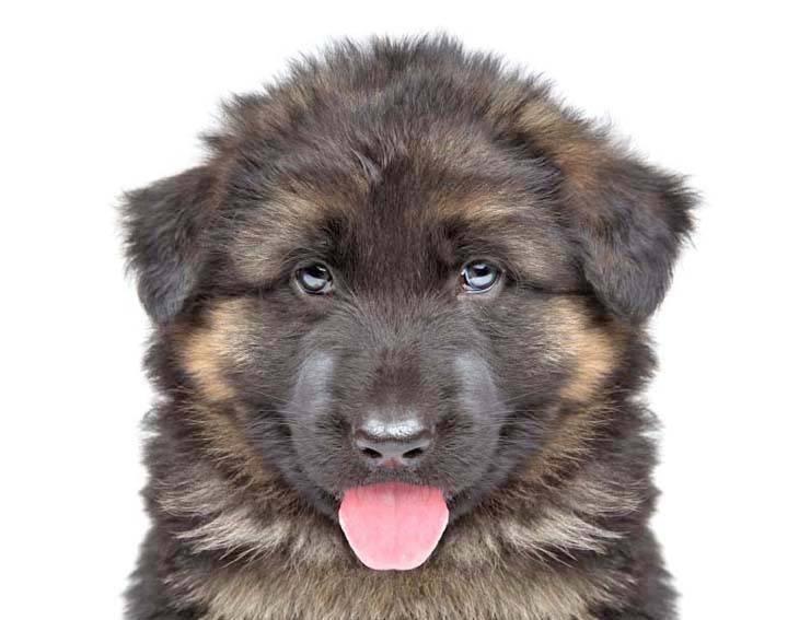 German Shepherd puppy looking cute