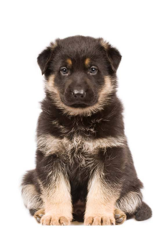 This German Shepherd puppy wants what your eating