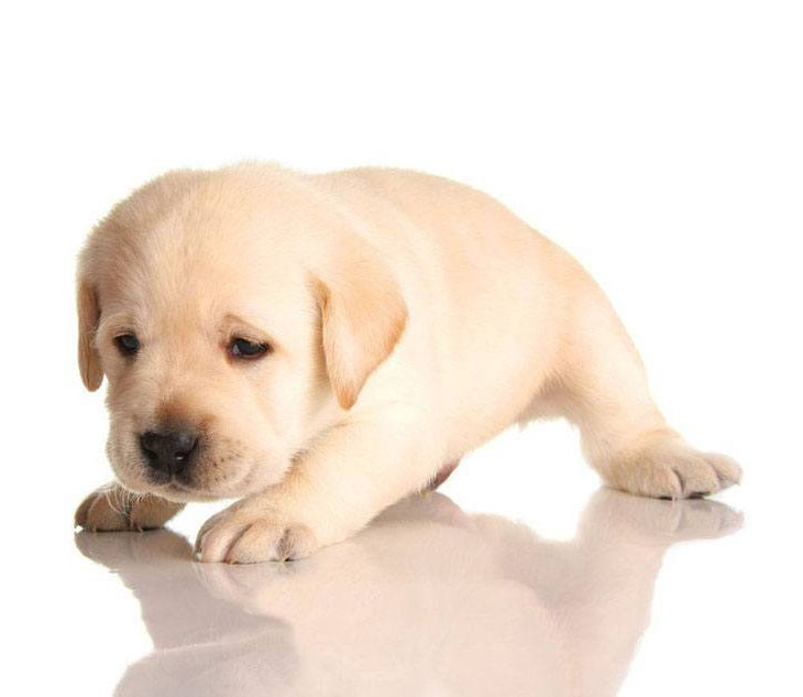 Wobbly Yellow Lab puppy
