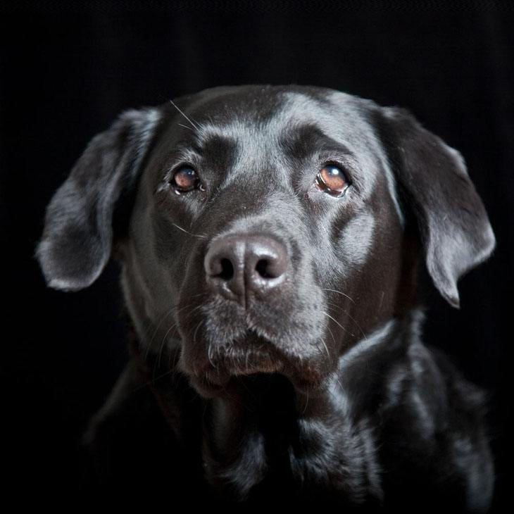 black lab with beautiful shiny coat