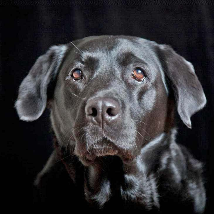 Shiny black Lab