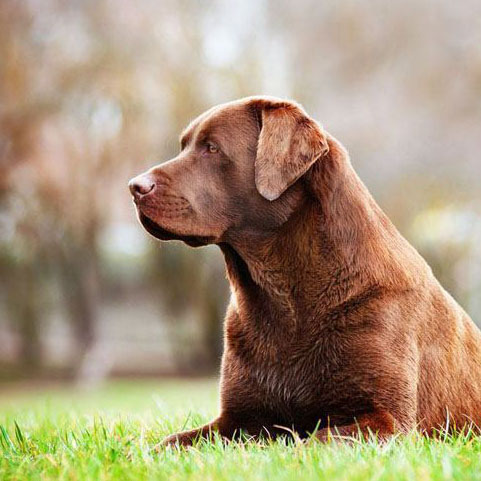Chocolate Labrador Retriever beauty