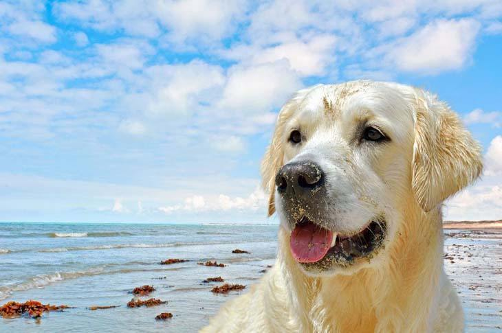 Yellow Lab enjoying a day at the beach