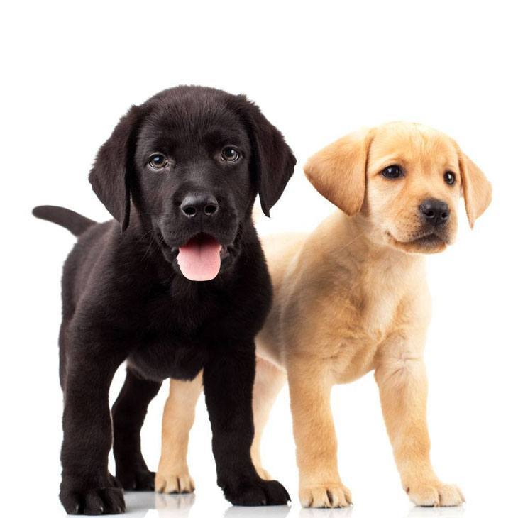 Labrador Retriever puppies looking for some fun