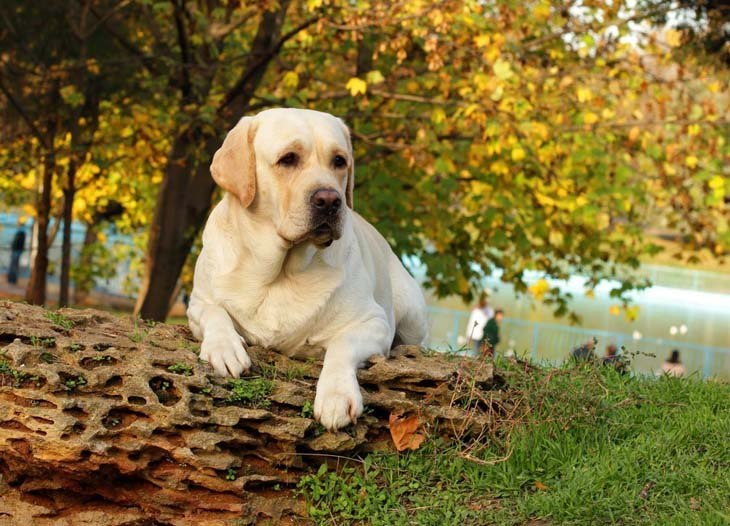Labrador Retriever taking a rest