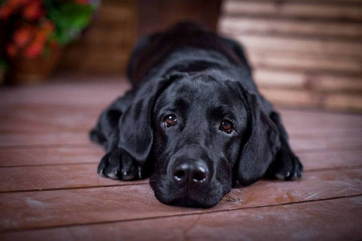 Lonely black Lab puppy