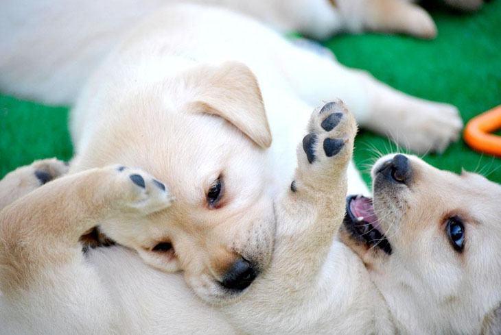 Lab puppy playtime