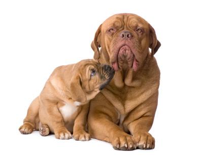 Mastiff mom and her pup