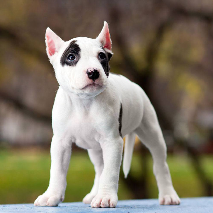 Curious Pit Bull puppy
