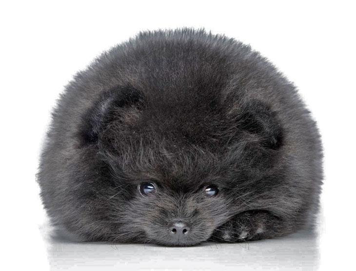 Pomeranian Spitz mixed breed