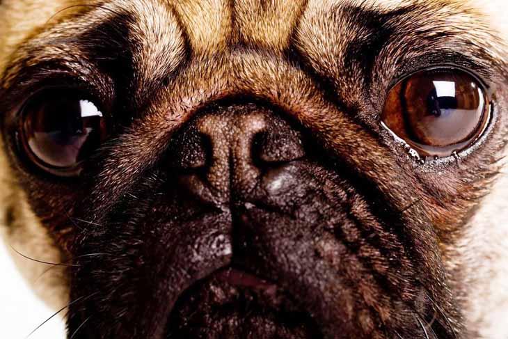 Pug stare down