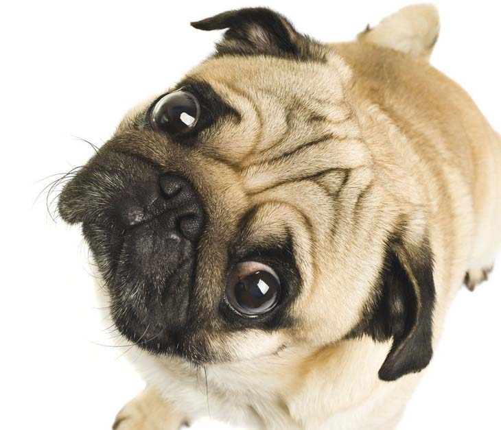 Curious Pug wants to know what you're doing