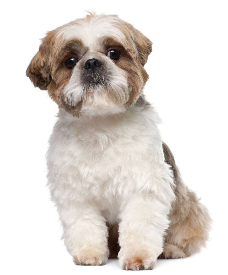 Good Boy Dog Names For Shih Tzu