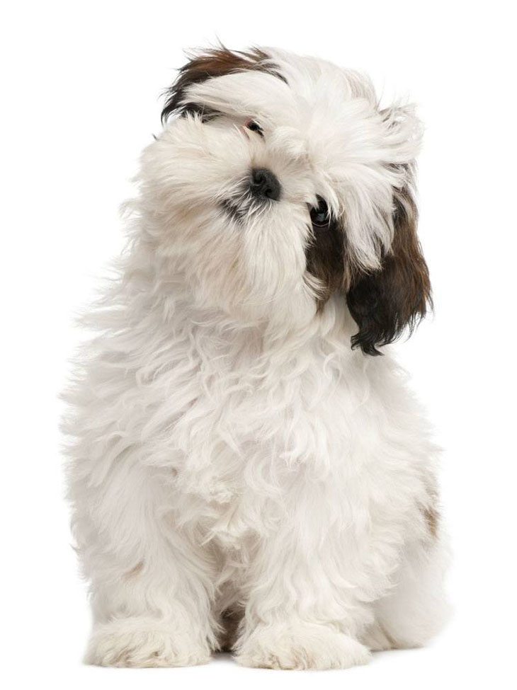 Shih Tzu puppy is curious