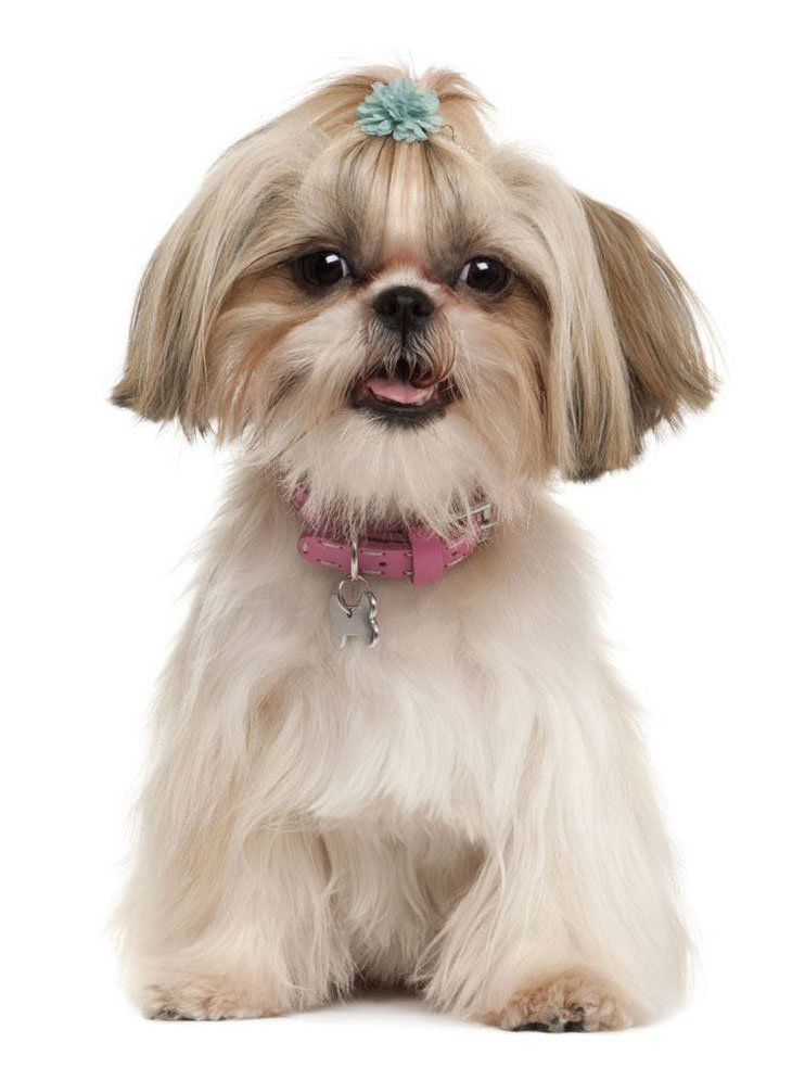 shih tzu puppy names girl celtic dog names cool male female names for your puppy 6290