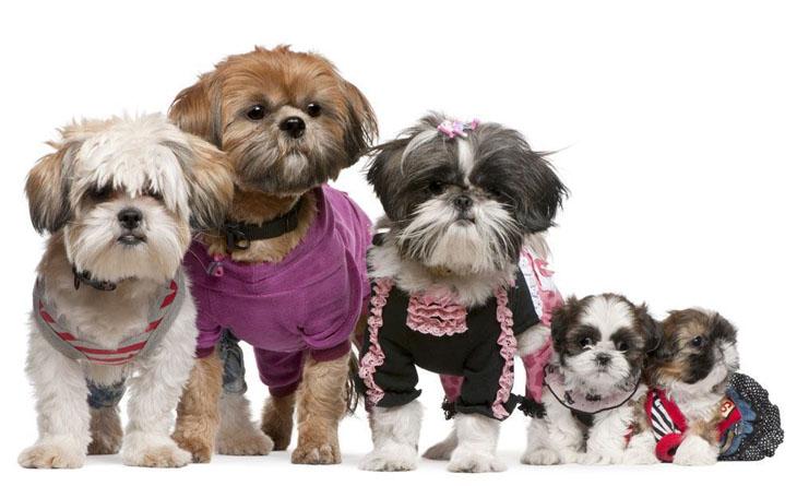 Cute Shih Tzu family