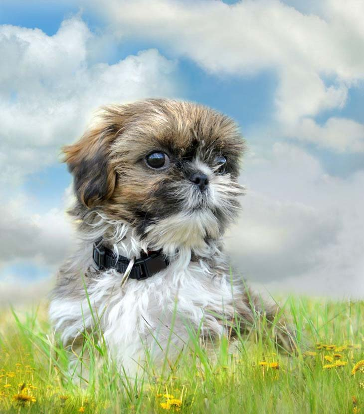 Shih Tzu romping in a meadow