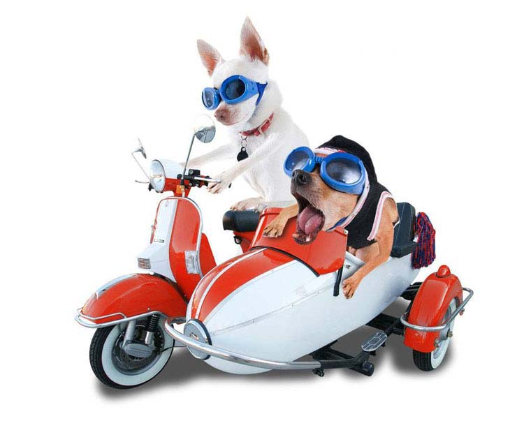 Dogs enjoying a scooter ride