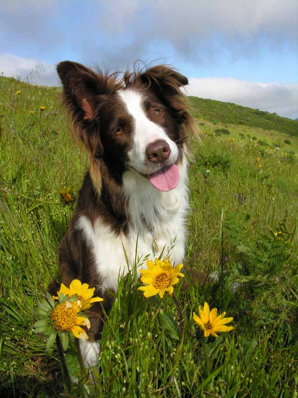 Border Collie enjoying the flowers of the field